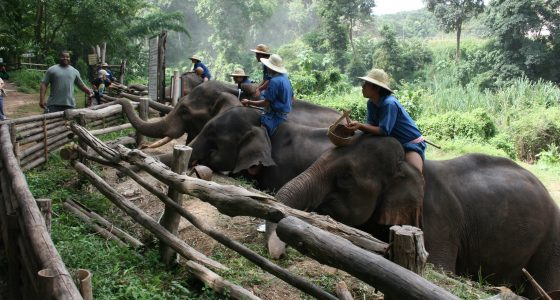 Elefanter Chiang Mai - OrkideEkspressen