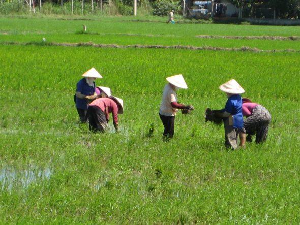 Rismarker Mekongdeltaet