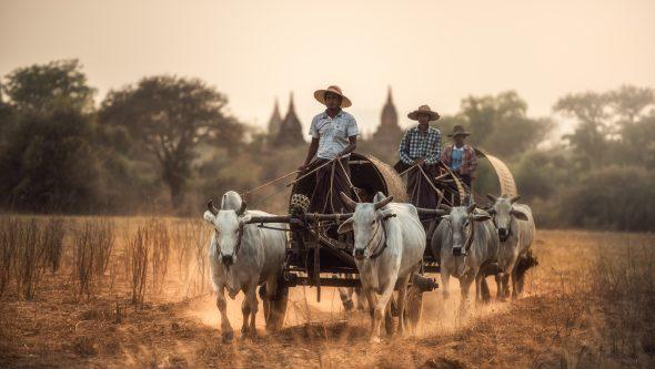 Bønder med oksekjerre i Bagan.